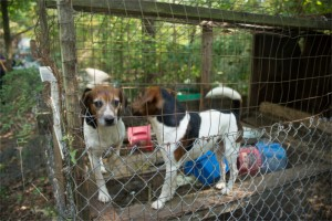 Before photo of Beagles we rescued from a hoarding situation