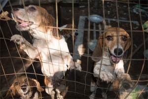 Beagles we rescued-1